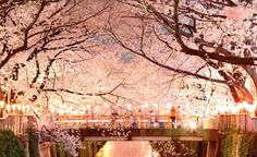 Fairy-Sakura-Land Cherry Blossom Tree, Blossom Trees, All About Japan, Visit Japan, We Are The World, Bucket Lists, Places To See, Fairy Tales, Hawaii