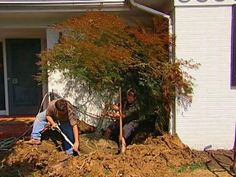 japanese maple was dug up and transplanted