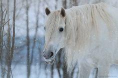 Snow Gosia Mąkosa Equine Art & Photography, Poland