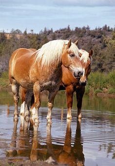 HOR 01 RK1023 03 © Kimball Stock Two Belgian Horses Standing In Water