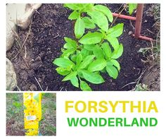 How to plant and grow Forsythia