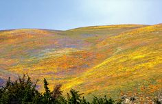 <3 <3 hillsides of yellow coreopsis, lupine, and California poppies.  These are in Gorman Hills, CA