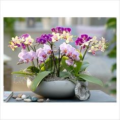 GAP Gardens - Phalaenopsis - Orchids - Image No: 0304341 - Photo by Friedrich Strauss Orchid Flower Arrangements, Orchid Centerpieces, Beautiful Flower Arrangements, Orchid Pot, Orchid Plants, Exotic Plants, Amazing Flowers, Beautiful Flowers, Orchid Images