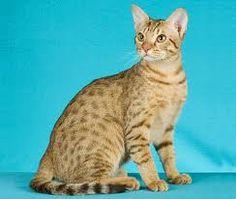 www.petclic.es la mayor tienda online de productos para #mascotas. La mayor biblioteca de contenido y consejos sobre mascotas. 1.000 consejos. 50.000 imágenes. Foto del #gato #ocicat