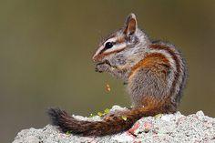 Merriam's Chipmunk | Flickr - Photo Sharing!