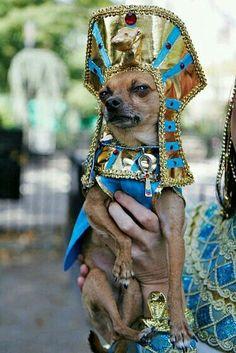 Cleopatra, I presume? Chihuahua Halloween Costumes, Best Dog Costumes, Animal Costumes, Pet Costumes, Costume Ideas, Cute Chihuahua, Cute Puppies, Cute Dogs, Chien Halloween