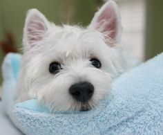 Sweet face - Westie Taro | Flickr!  #4theKindom