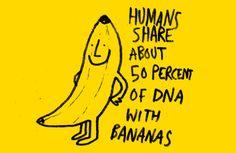 La struttura del Dna umano corriponde al 50% con quello delle banane