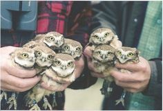 so many owlets!