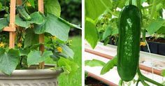 You're doing it all wrong. How to grow cucumbers the right vertical way