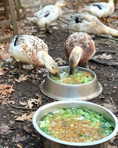 It might be time to rethink what to feed pet or backyard ducks to focus on optimal health and longevity rather than high egg production. Backyard Ducks, Backyard Farming, Chickens Backyard, Duck Feed Recipe, Duck Pens, Duck Duck, What To Feed Ducks, Welsh Harlequin Duck, Raising Ducks