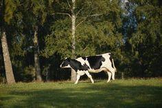 Beneficios del calostro en polvo. El calostro en polvo deriva de la leche de vaca. El calostro es un tipo de fluido que expulsan las vacas antes de la leche durante los primeros dos a cuatro días después de parir. Por naturaleza, el calostro contiene gran cantidad de antioxidantes y nutrientes, y ...