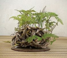 """kusamono (literally """"grass thing"""") and shitakusa (literally """"undergrass"""") are potted collection of plants designed to either be viewed in accompaniment with bonsai, or alone. Ikebana, Foliage Plants, Air Plants, Indoor Plants, Ferns Garden, Moss Garden, Short Plants, Small Plants, Little Gardens"""
