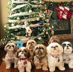 Shih Tzu 001 – My Puppies The loving faces of Shih Tzu dogs. my favorite breed! The most beautiful Shih Tzu photos. I enjoy these lovely pet dogs. Cute Puppies, Cute Dogs, Dogs And Puppies, Doggies, Shih Tzu Puppy, Shih Tzus, Puppy Breeds, Cute Funny Animals, Belle Photo