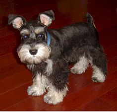 Mini schnauzer puppy this puppy is so so darling