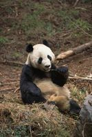 The Giant Panda is the symbol of the World Wildlife Fund