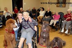 red standard poodle puppies for sale, Brown Standard Poodle ...