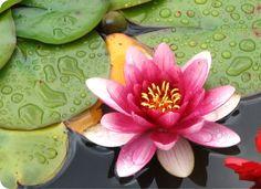 Saiba como cultivar a flor de lótus   Jardim das Ideias STIHL - Dicas de jardinagem e paisagismo