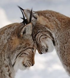 2 Lynx cats showing affection by head butting. Animals Kissing, Animals And Pets, Baby Animals, Funny Animals, Cute Animals, Wild Animals, Anime Animals, Nature Animals, I Love Cats