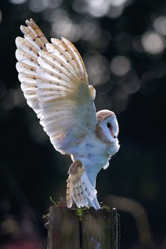 Barn owl / Pictures of animals (not as blue in the shadows as the other) Beautiful Owl, Animals Beautiful, Cute Animals, Beautiful Life, Beautiful Children, Vida Animal, Mundo Animal, Owl Animal, Owl Bird