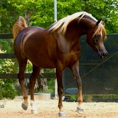Chocolate palomino Arabian mare says the pinner. I think dark chestnut with flaxen mane. Either way, an exquisite horse.