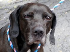 SUPER URGENT Manhattan Center SHADOW – A1038819 ***UNABLE TO WALK – NEEDS NEW HOPE PLACEMENT ASAP*** MALE, BLACK, LABRADOR RETR MIX, 7 yrs STRAY – STRAY WAIT, NO HOLD Reason STRAY Intake condition INJ SEVERE Intake Date 06/04/2015