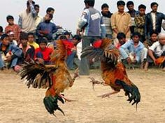 Cock-fight,  in Odisha villages