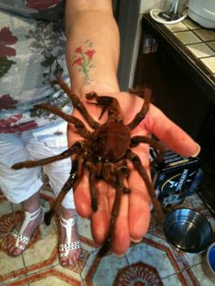World's biggest spider. With 10 fast facts about Tarantulas.