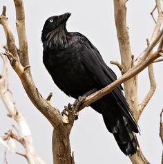 raven | ... for tattoo designs for an Australian Raven (these guys - X , X , X