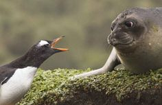 A penguin gives an earful to a Southern Elephant Seal pup.