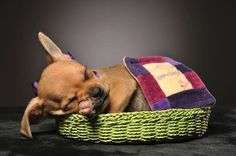 #Chihuahua puppies can get into so much mischief, even in their dreams...  Click on this image for more pinable pictures of #dogs and #puppies