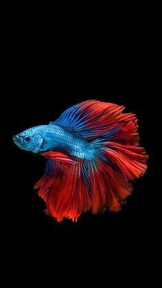 How Long Do Betta Fish Live? years is a common life-span of a domesticated betta fish, nonetheless approximately 6 years is very achievable as well as 10 can be done! Betta Aquarium, Pretty Fish, Beautiful Fish, Fish Wallpaper, Animal Wallpaper, Iphone Wallpaper, Wallpaper Wallpapers, Mobile Wallpaper, Colorful Fish
