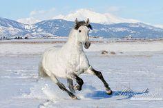 The Stallion in the Snow  Fine Art Horse Photograph by Carol Walker www.LivingImagesCJW.com