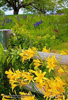Daylilies by the fence,  Красоднев,  Лилейник -  цветок  живет  один  день,  но  их  много.