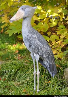 krorov Exotic Birds, Colorful Birds, Pretty Birds, Beautiful Birds, Shoebill Bird, Photo Animaliere, Kinds Of Birds, Mundo Animal, Big Bird
