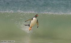 BBC Nature - Gentoo penguin videos, news and facts