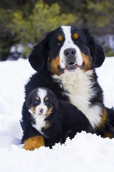 Adult And Puppy Bernese Mountain Dogs