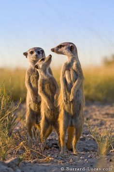 Scouting Meerkats - Burrard-Lucas Photography animals About Wild Animals: A meerkat on a wood log Jungle Animals, Nature Animals, Cute Baby Animals, Animals And Pets, Funny Animals, Wild Animals, Wildlife Photography, Animal Photography, Mundo Animal