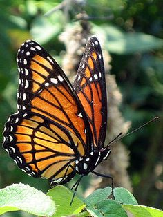 Viceroy Butterfly (looks a lot like a monarch)