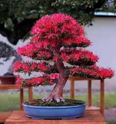 How to care for your Ficus Bonsai Flowering Bonsai Tree, Indoor Bonsai Tree, Bonsai Plants, Bonsai Garden, Garden Trees, All Flowers, Pretty Flowers, Ikebana, Bonsai Azalea