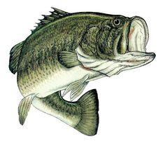 #Big_Mouth_Bass - h
