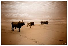 Transkei Beach by photographer Gregor Rohrig Forever Travel, African States, My Land, Cattle, East Coast, South Africa, In This Moment, Landscape, Cows