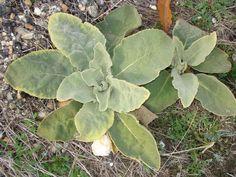 Plantas suaves y esponjosas. San Ciprián de Hermisende.