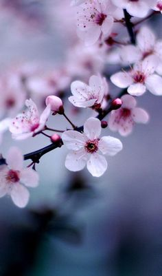 ✿Cherry blossom (Prunus cerasus): Impermanence ✿櫻花: 稍縱即逝