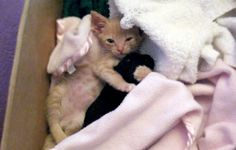 Kitty takes care of newborn puppy.  Tons of cute stories here - http://lovemeow.com/2011/05/foster-kitten-adopts-tiny-rescue-chihuahua/