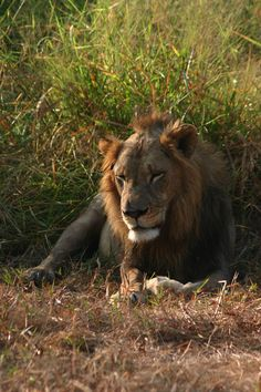A male African lion enjoying another sunny day in Gorongosa National Park. Photo by Robert Spaan.