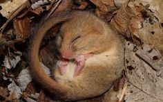 Dormice numbers in England and Wales have declined by 38 per cent since 2000