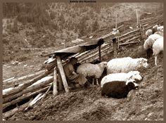 Romania, Goats, Animals, Animales, Animaux, Animal, Animais, Goat