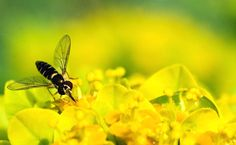 Insects, Bee, Animals, Honey Bees, Animales, Animaux, Bees, Animal, Animais