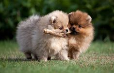 Two lovely pomeranians playing #pomeranian